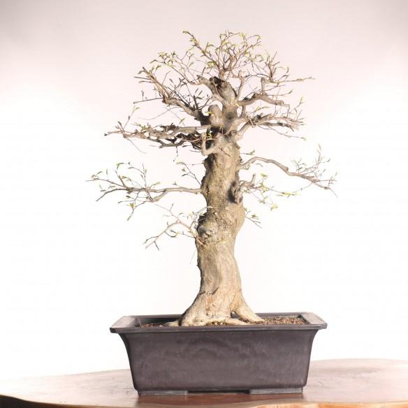 Carpinus turczaninovii - B0773