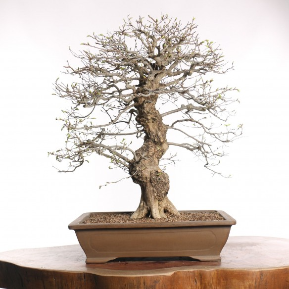Carpinus turczaninovii - B0775
