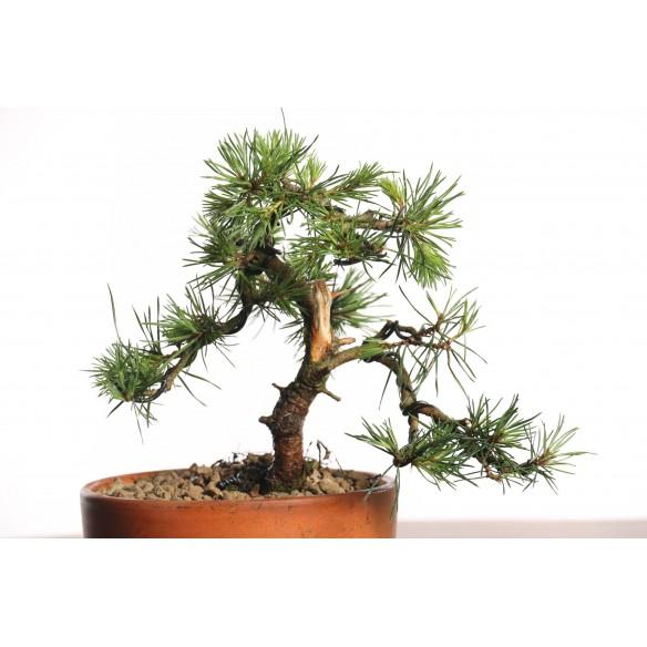 Pinus sylvestris - B0778