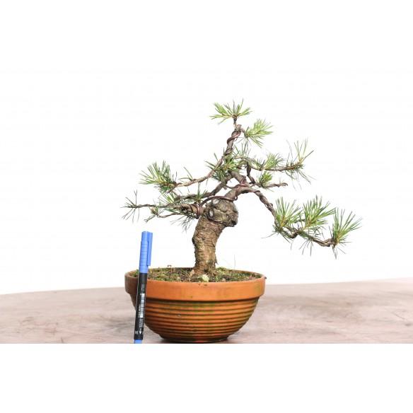 Pinus sylvestris - B0782