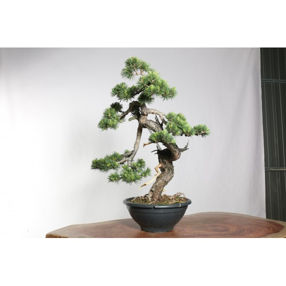 Pinus sylvestris - B0751
