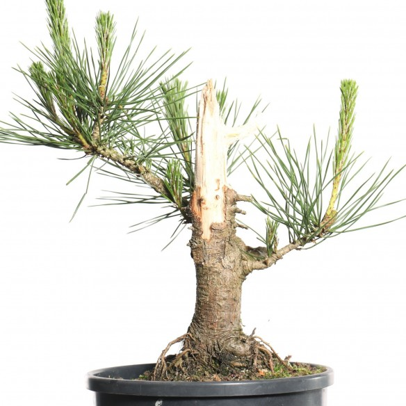 Pinus thunbergii - B0791