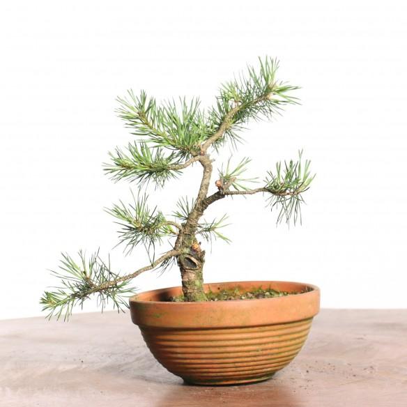 Pinus sylvestris - B0794