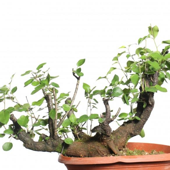 Prunus mahaleb - B0795