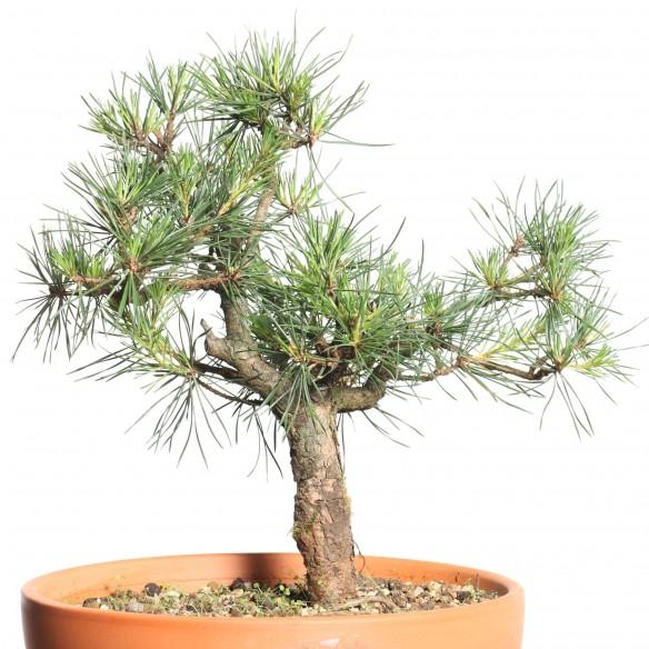 Pinus sylvestris - B0796