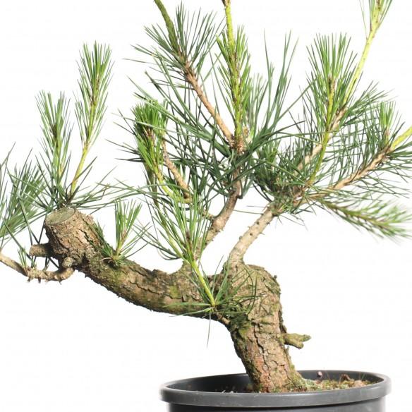 Pinus thunbergii - B0800