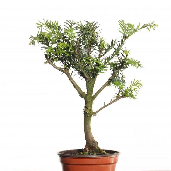 Taxus baccata - B0803