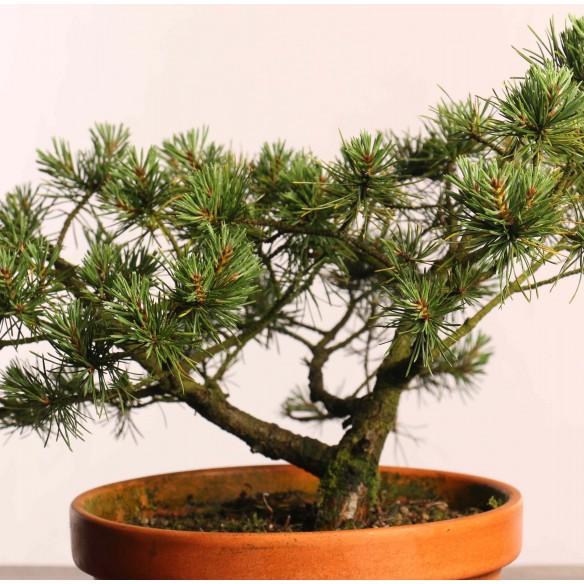 Pinus sylvestris - B0830