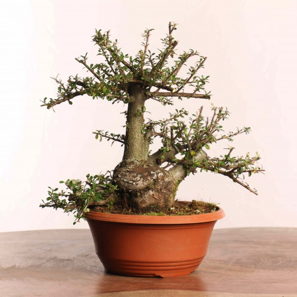 Cotoneaster spp. - B0834