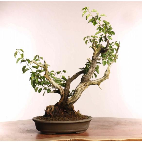 Prunus mahaleb - B0837