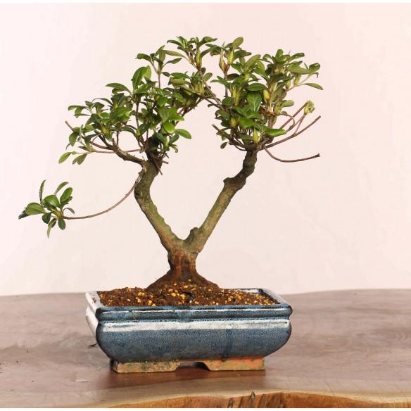 Azalea satsuki - B0843