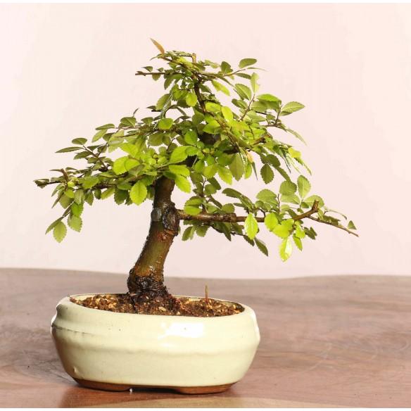 Ulmus parvifolia - B0857