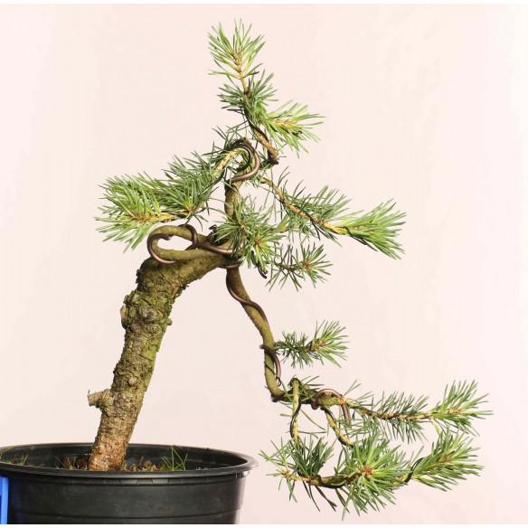 Pinus sylvestris - B0858