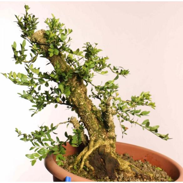 Buxus sempervirens - B0861