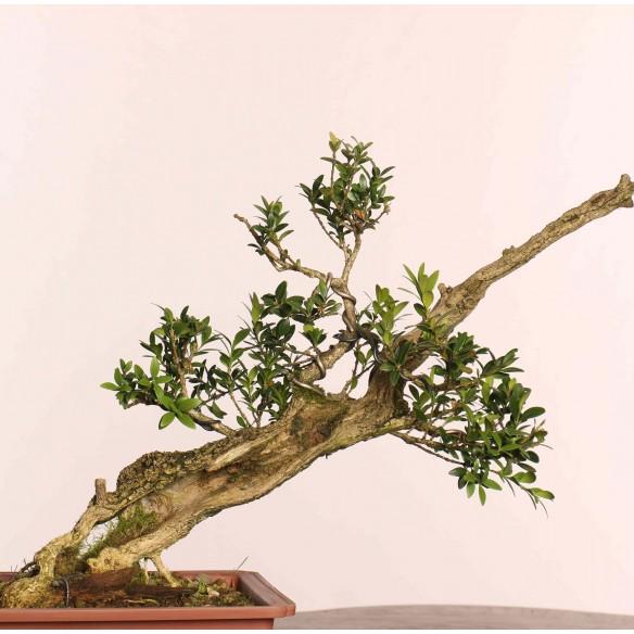 Buxus sempervirens - B0872