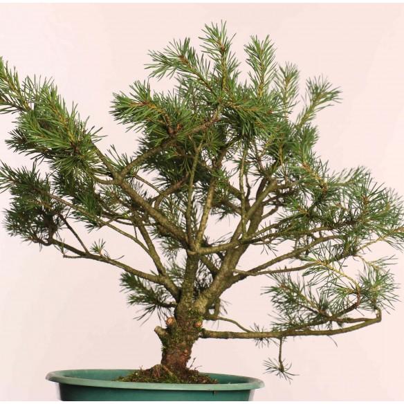 Pinus sylvestris - B0873
