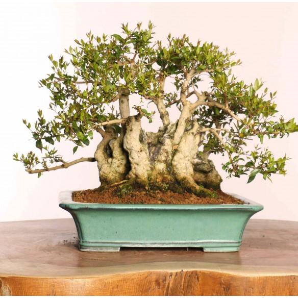 Myrtus communis - B0882