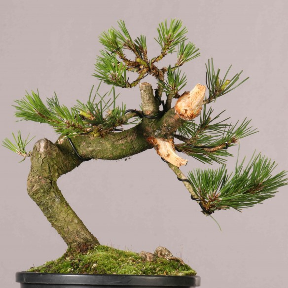 Pinus thunbergii - B0910
