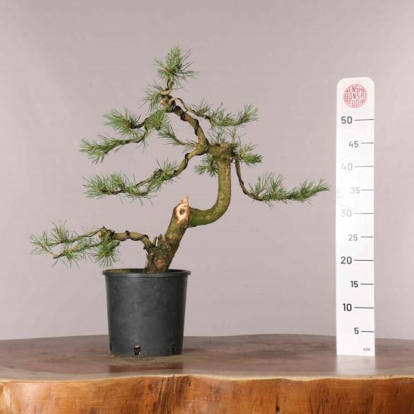 Pinus sylvestris - B0921