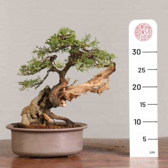 Juniperus phoenicia...