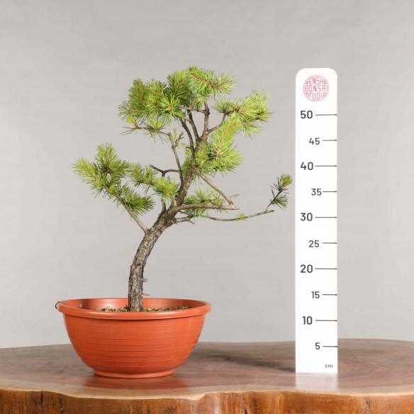 Pinus sylvestris - B0927