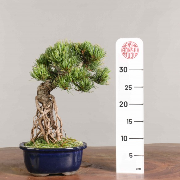 Pinus parviflora - B0934