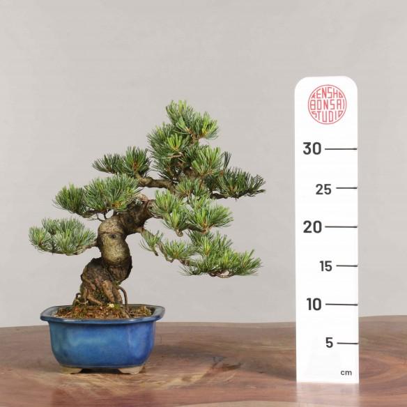 Pinus parviflora - B0935