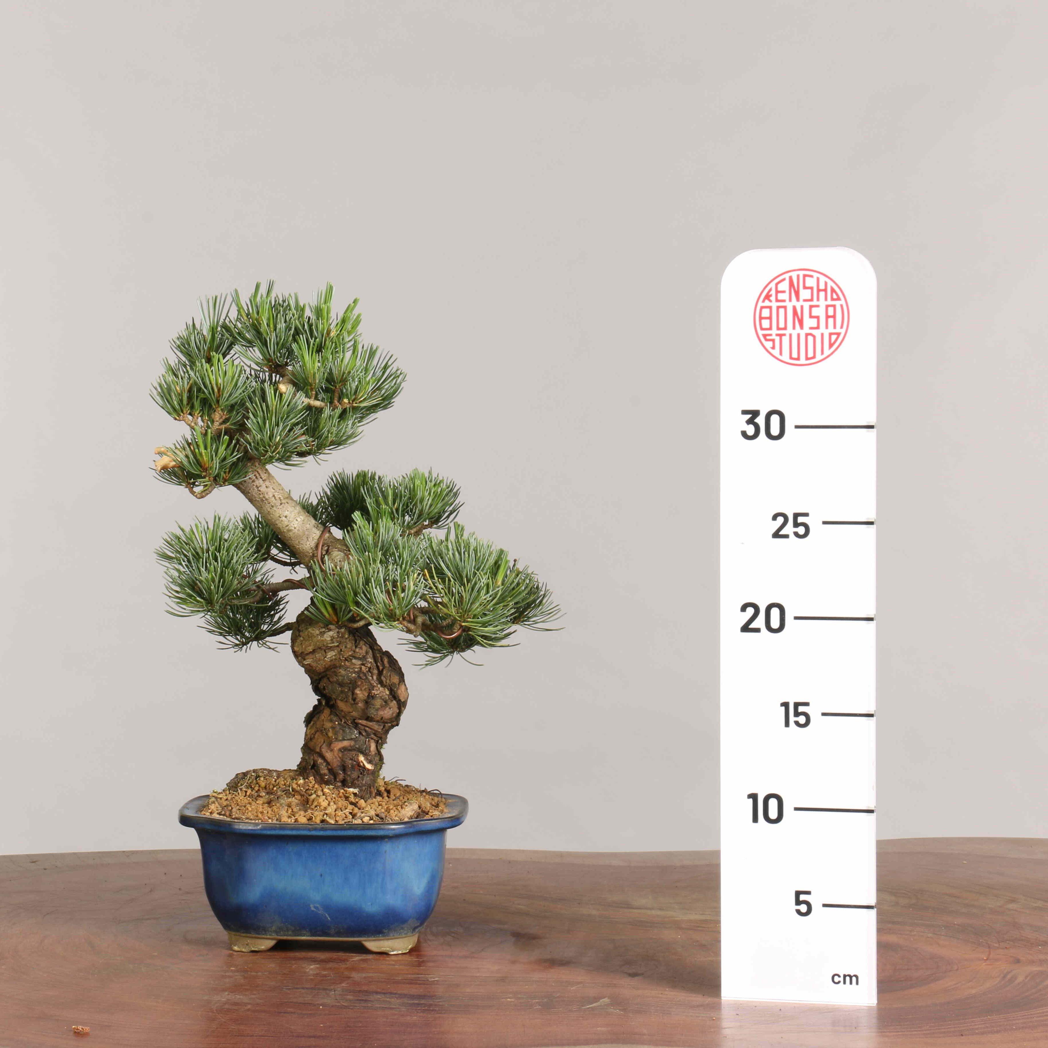 Pinus parviflora  - B0940