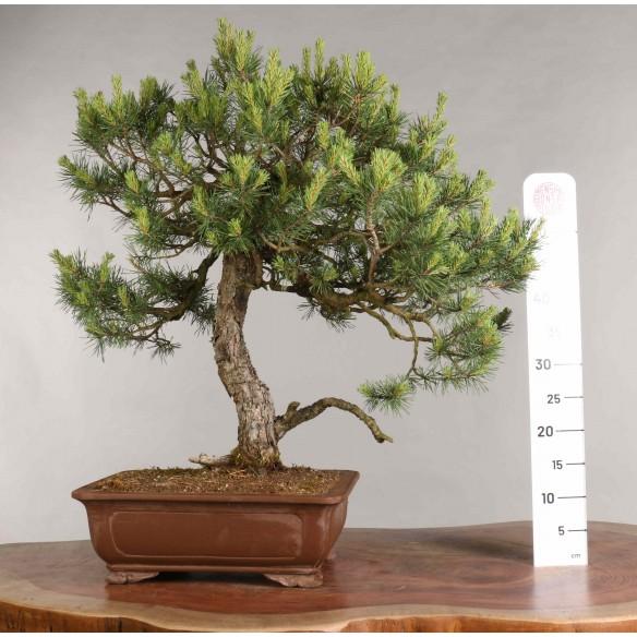 Pinus sylvestris - B0941