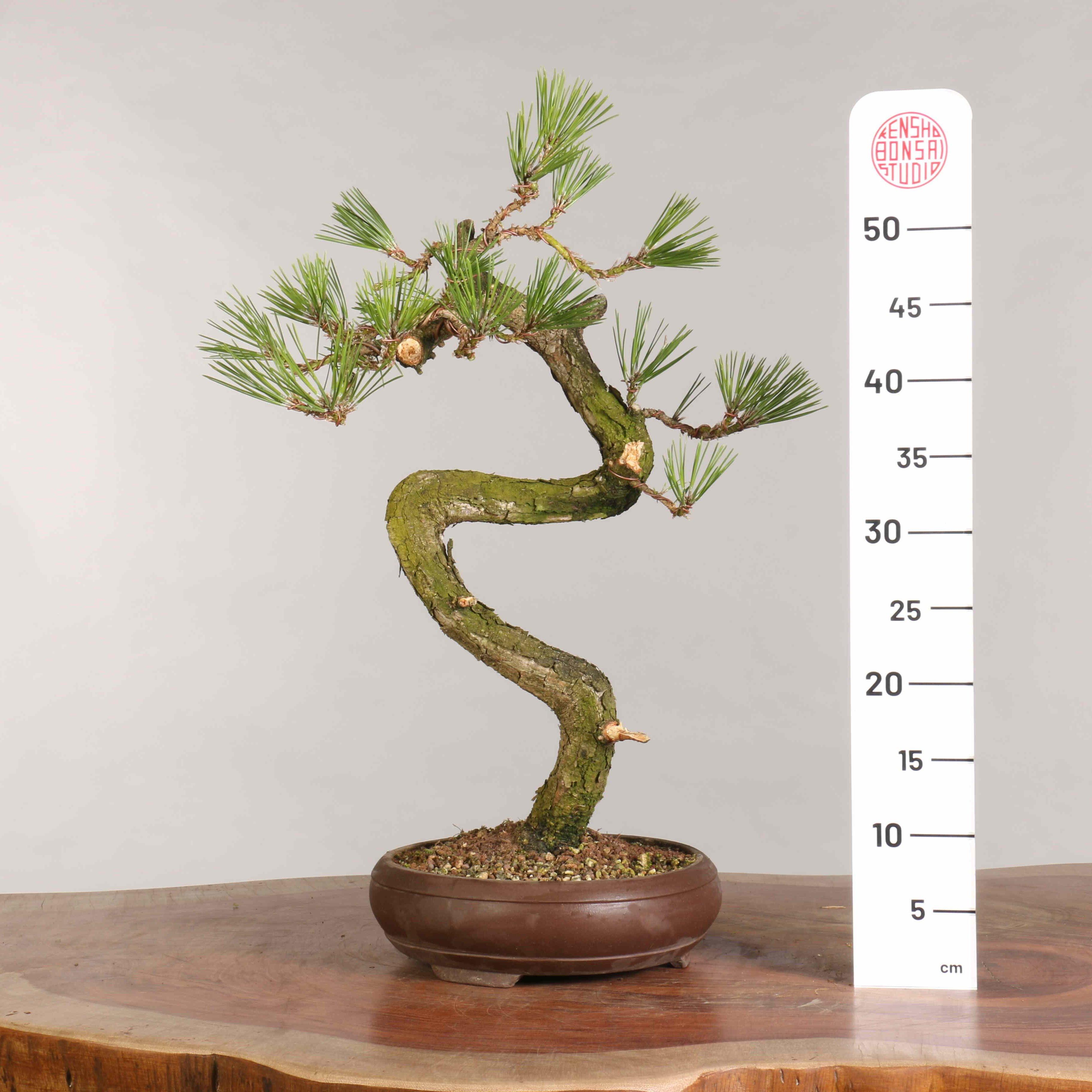 Pinus thunbergii - B0948