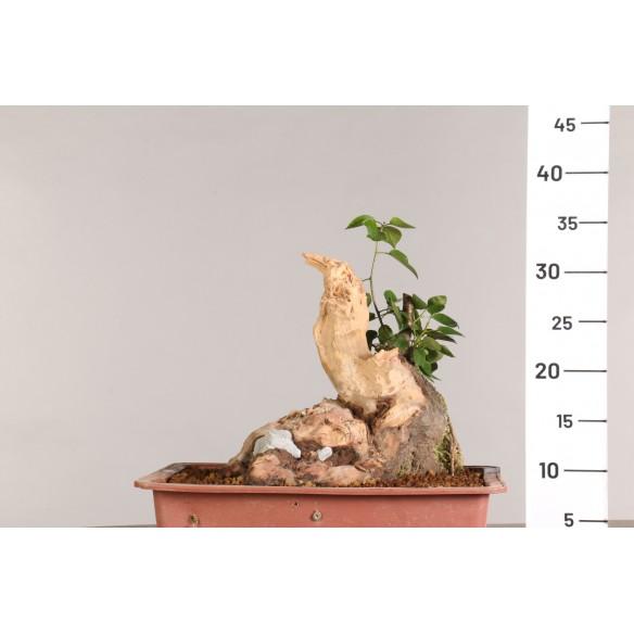 Prunus mahaleb - B0957