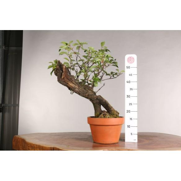 Prunus avium - B0958