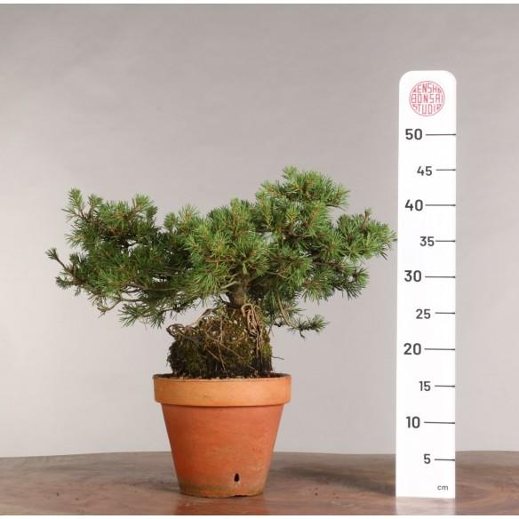Pinus sylvestris - B0960