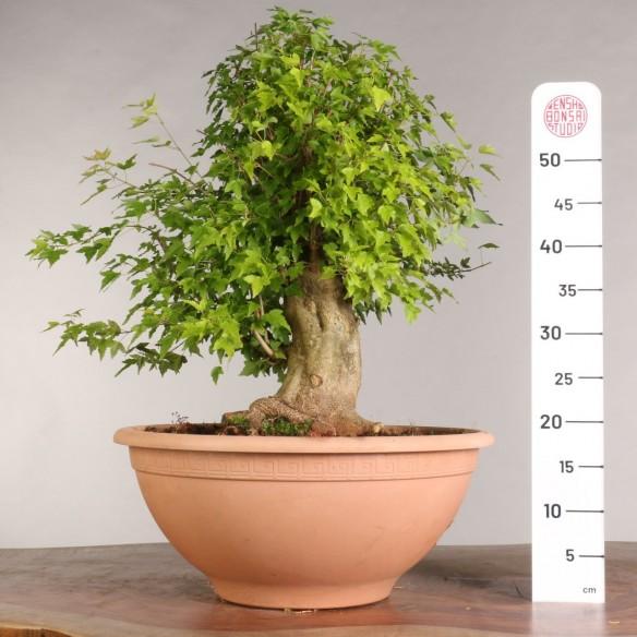 Acer buergerianum - B0971