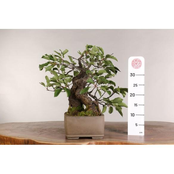 Prunus avium - B0974