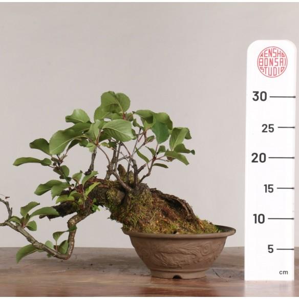Prunus avium - B0982