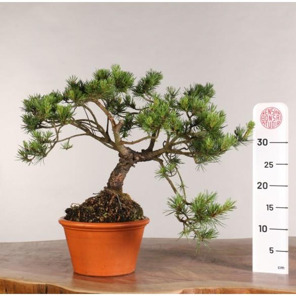 Pinus sylvestris - B0989