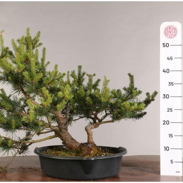 Pinus sylvestris - B0991