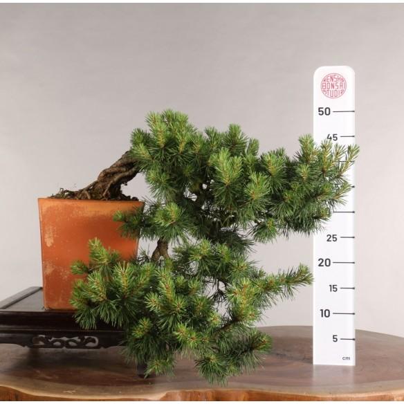 Pinus sylvestris - B0993
