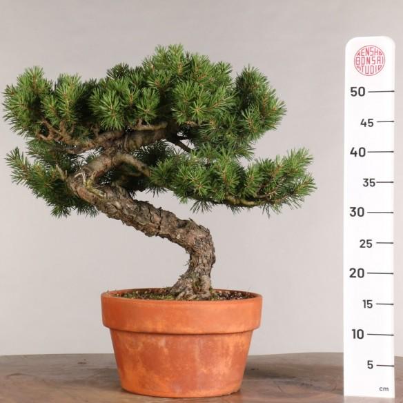 Pinus sylvestris - B0994