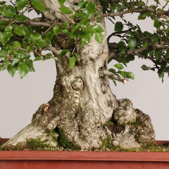 Carpinus turczaninovii - B0995