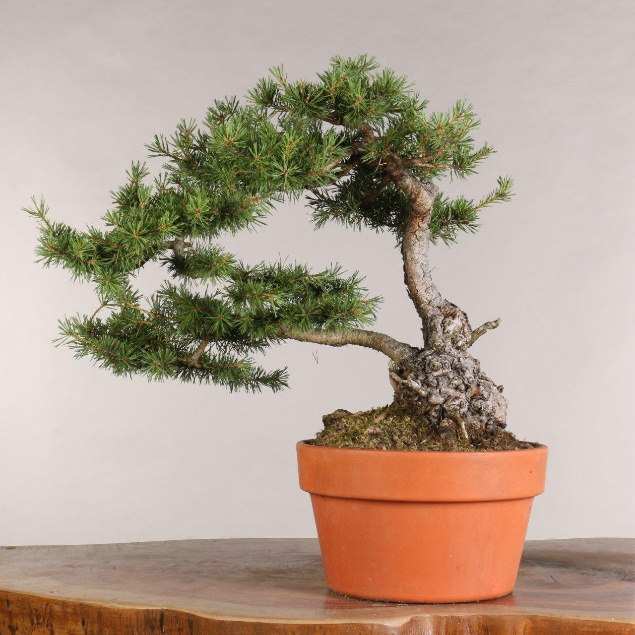 Pinus sylvestris - B0998