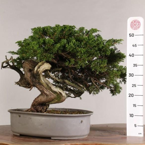Juniperus sabina - B1001