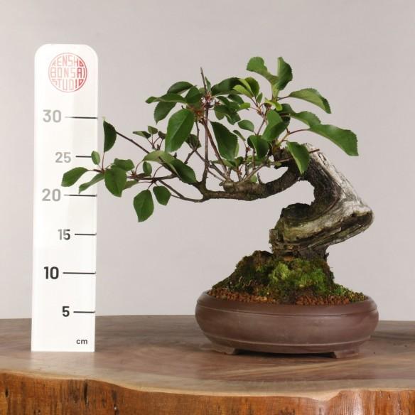 Prunus avium - B1008