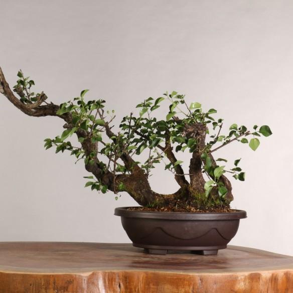 Prunus mahaleb - B1013