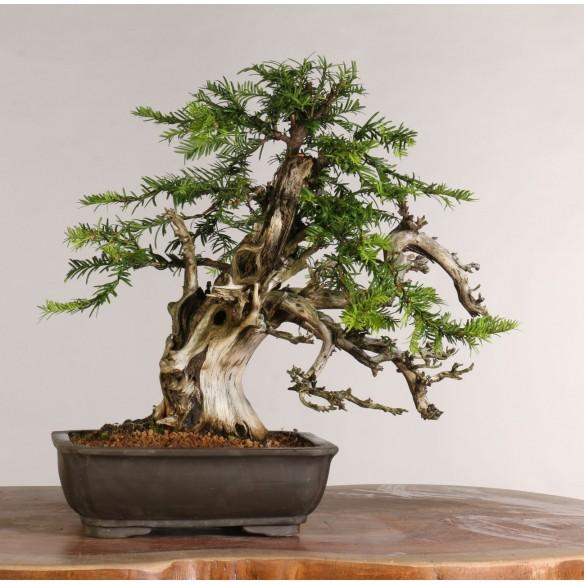 Taxus baccata (Tanuki) - B1014