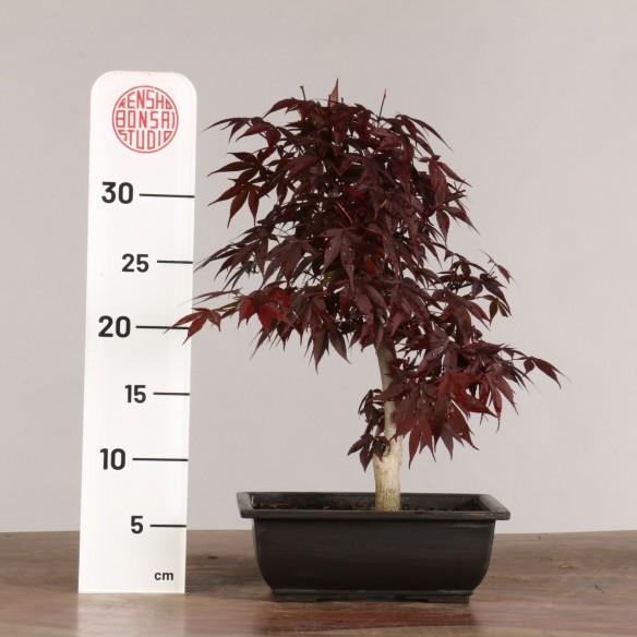 Acer palmatum 'nomura' - B1015