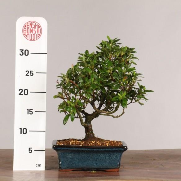 Azalea satsuki - B1016
