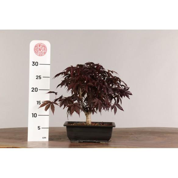 Acer palmatum 'nomura' - B1017