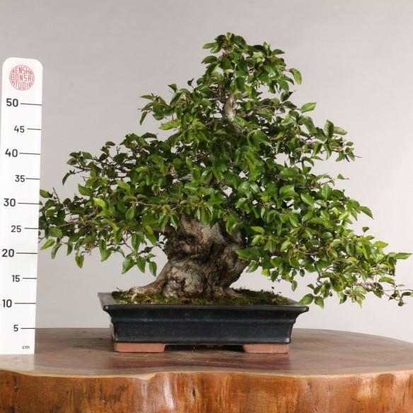 Carpinus turczaninovii - B1020
